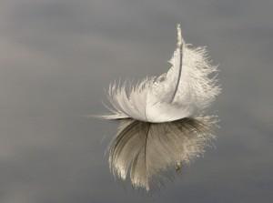 Swan Feather on Hatchet Pond