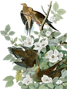 "Morning Dove, from ""Birds of America"" by John James Audubon. The Audubon Society was a favorite cause of Frances Carpenter."