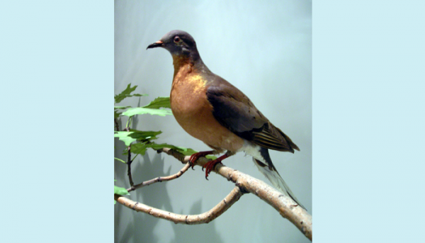 "Sunday, July 16: ""Becoming Passenger Pigeon"""
