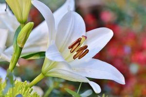 White lily blooms.