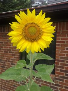 Large sunflower growing in the pot by the church back door.